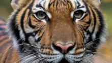 Tigresa do Zoológico de Nova York está contaminada pelo coronavírus