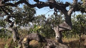 Estudo prevê extinção de um terço de espécies nativas do Cerrado em 30 anos