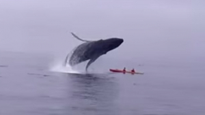 Dupla escapa por pouco de ser esmagada por baleia jubarte