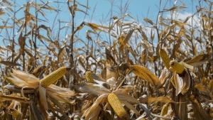 Executivo apresenta Projeto de Lei que reduz ICMS do milho