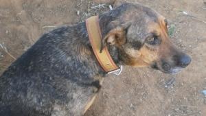 Cachorra paraplégica encontrada às margens da GO 040 precisa de um lar