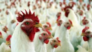 Presidente de associação de avicultores diz que produtores goianos não têm motivos para temer expansão da JBS