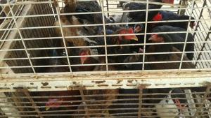No Entorno do DF, Procon flagra animais mantidos em gaiolas lotadas e sem alimentação