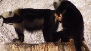 Macaca faz o parto de outra primata em Pequim